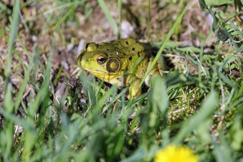 Zielona żaba w trawie obrazy royalty free