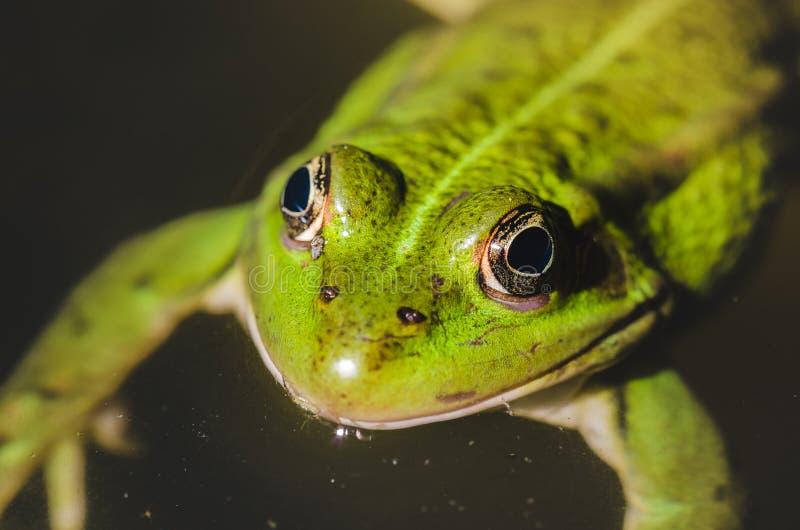 Zielona żaba zamknięta w górę na wodnej, zielonej żaby zamkniętej w górę wody na/, odgórny widok zdjęcie royalty free