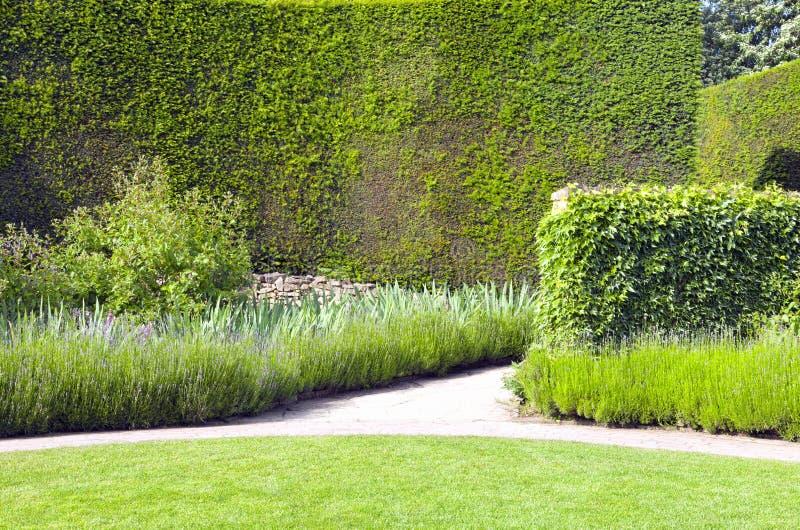 Zielona żywopłot ściana, lawenda w kwiacie, w anglik kształtującym teren ogródzie zdjęcia stock