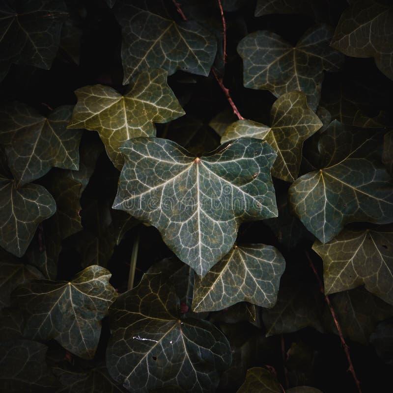 Zielona abstrakcjonistyczna tekstury roślina opuszcza w ogródzie obrazy stock