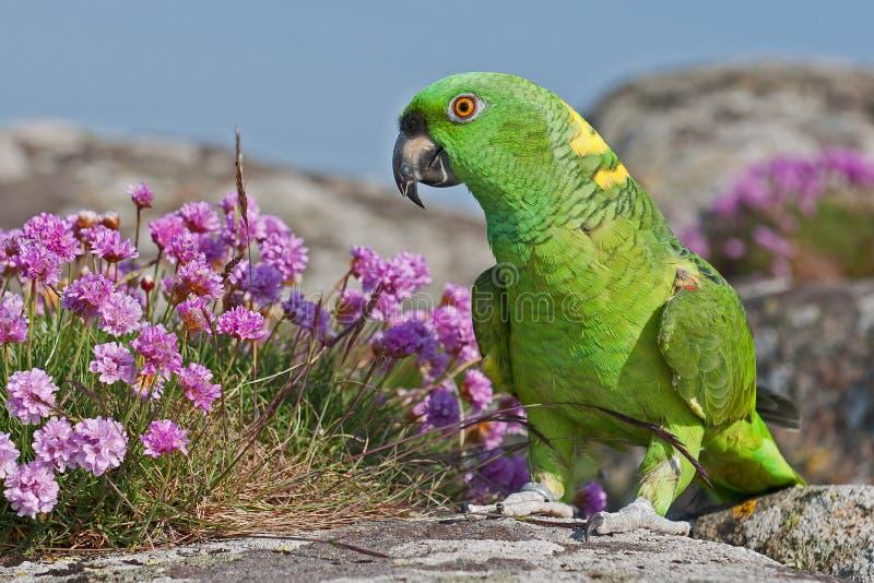 Zielona amazonki papuga zdjęcie stock