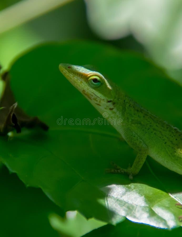 Zielona Anole jaszczurka zdjęcie royalty free