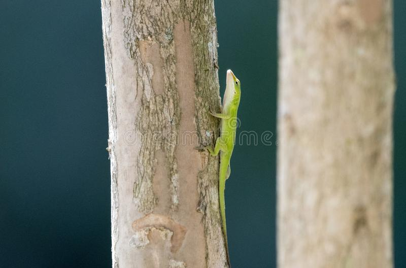 Zielona Anole jaszczurka, Gruzja usa zdjęcia stock