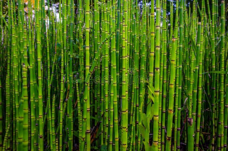 Zielona bambusowa tekstura w naturze, Strasburg obraz royalty free