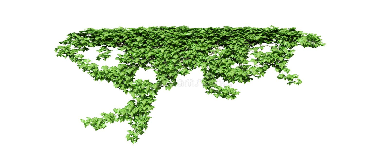 Zielona bluszcz roślina odizolowywająca ilustracji