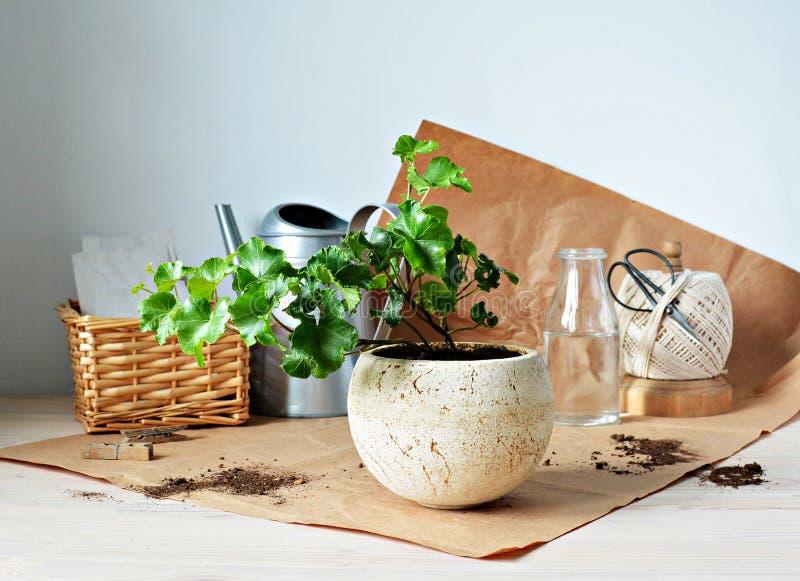 Zielona bluszcza domu roślina w beżowym ceramicznym garnku, podlewanie puszce, Kraft papierze, czarnych nożycach i łozinowym kosz fotografia stock
