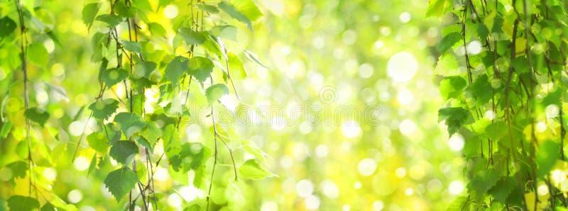 Zielona brzoza opuszcza gałąź bokeh tło obrazy royalty free