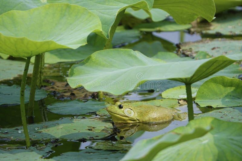 Zielona byk żaba fotografia stock