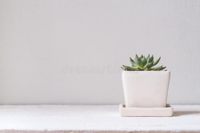 Zielona cucculent roślina w białego kwiatu garnku Doniczkowy tłustoszowaty hous zdjęcia royalty free