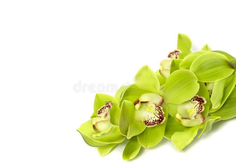 Zielona Cymbidium orchidea na białym tle obrazy royalty free