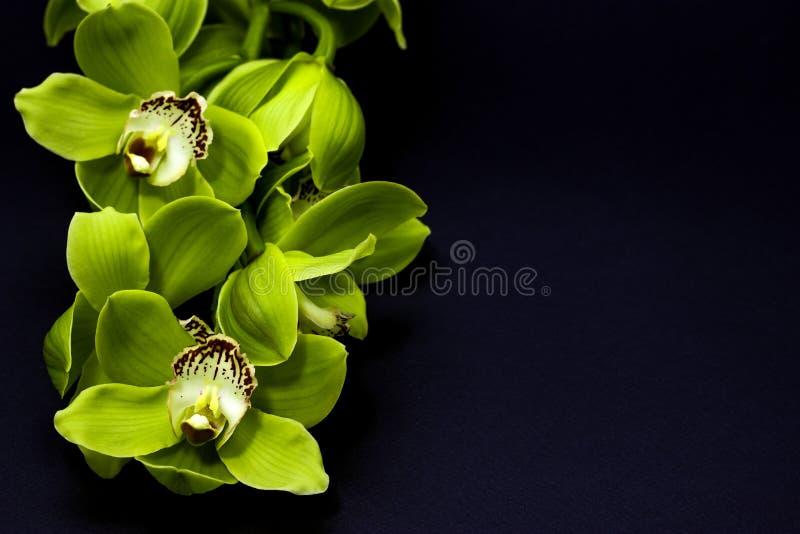 Zielona Cymbidium orchidea na czarnym tle fotografia stock