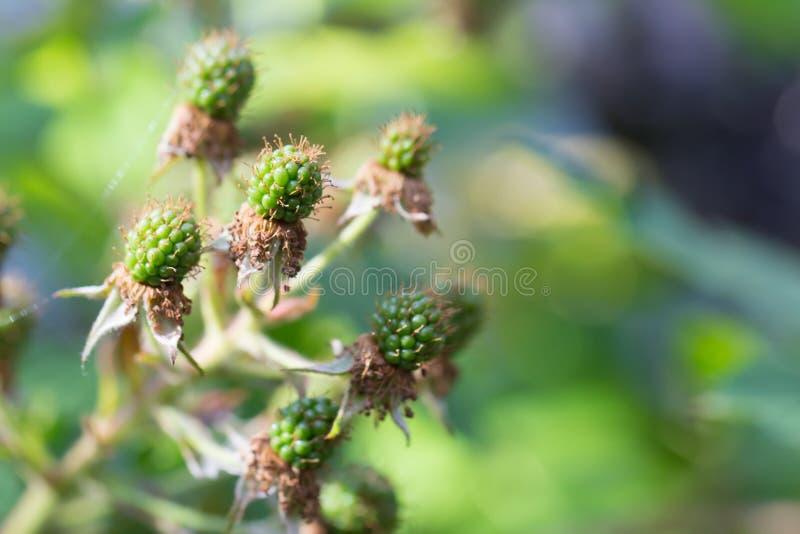 Zielona czernica w lecie z pająk siecią w ogródzie obrazy royalty free