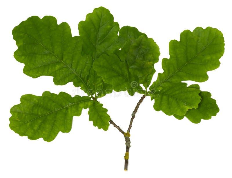 Zielona dąb gałąź odizolowywająca zdjęcie stock