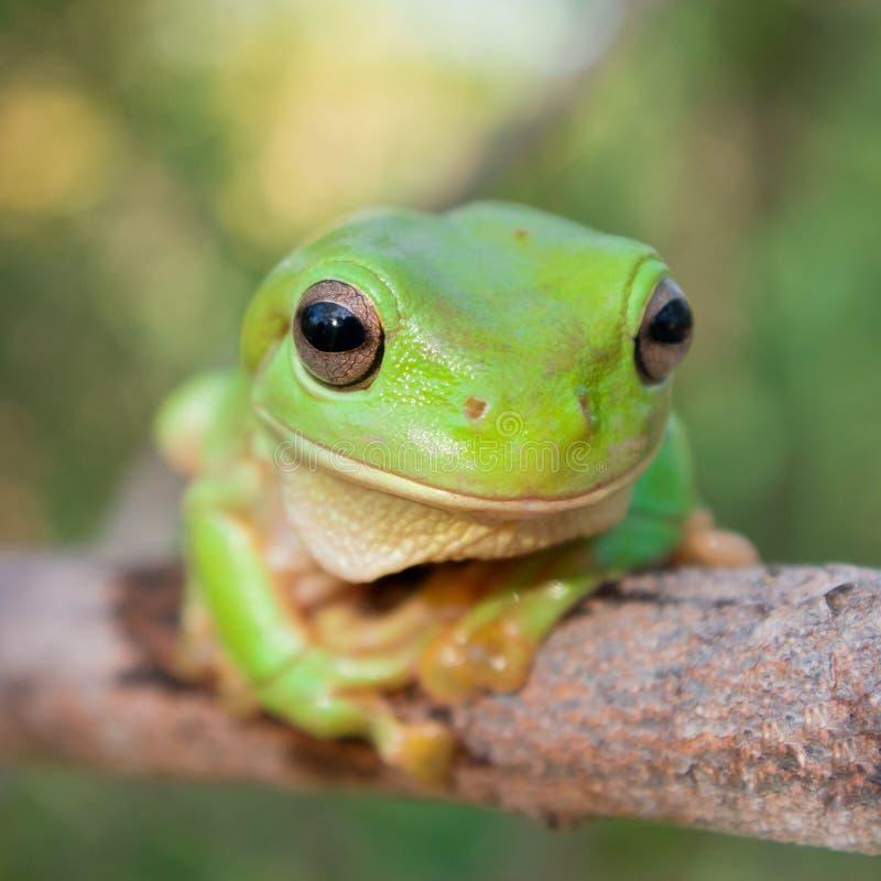 Zielona Drzewna żaba zdjęcia royalty free