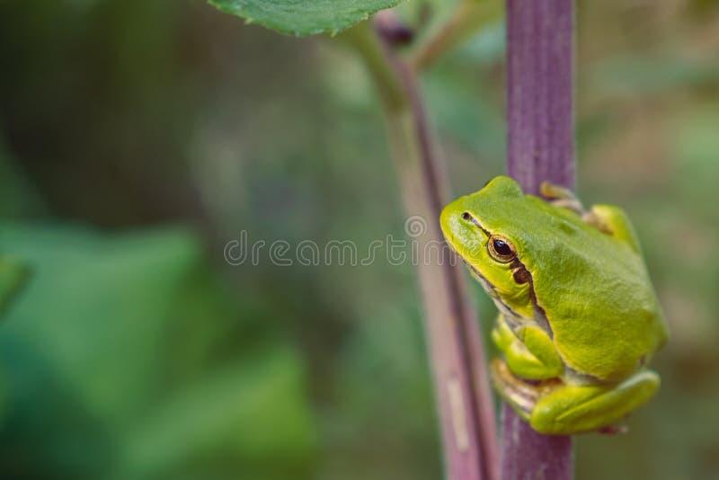 Zielona drzewna żaba na łopianowym badylu fotografia stock