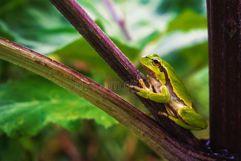 Zielona drzewna żaba na łopianowym badylu zdjęcie stock
