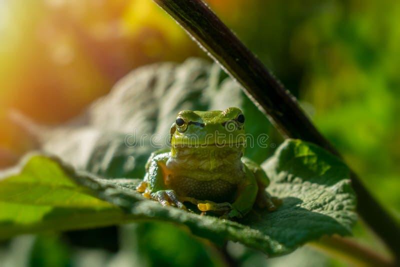Zielona drzewna żaba na łopianowym liściu, frontowy widok zdjęcie stock