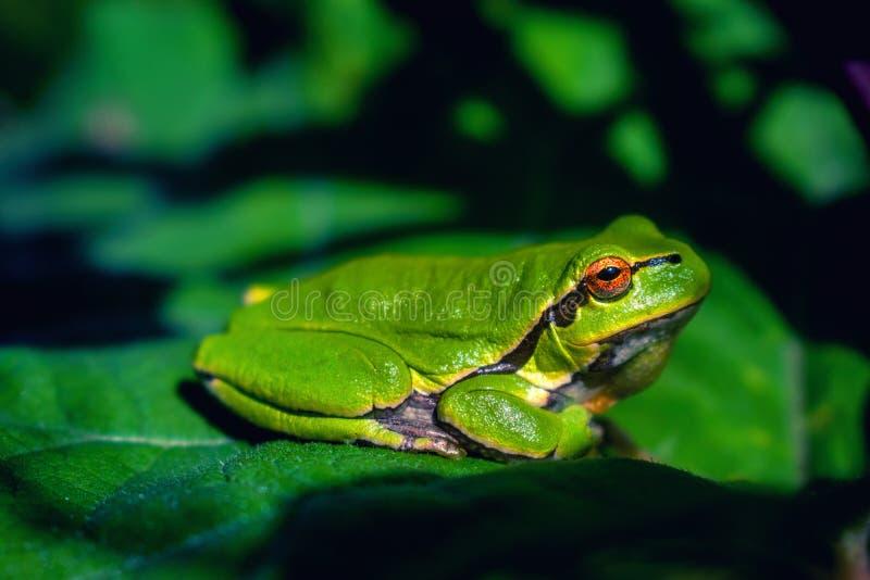 Zielona drzewna żaba na łopianowym liściu zdjęcie royalty free