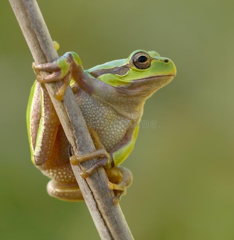 Zielona Drzewna żaba na trzcinowym liścia Hyla arborea zdjęcie royalty free