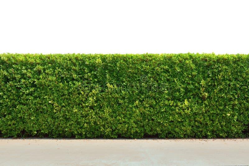 Zielona drzewo ściany ogrodzenia tekstura fotografia royalty free