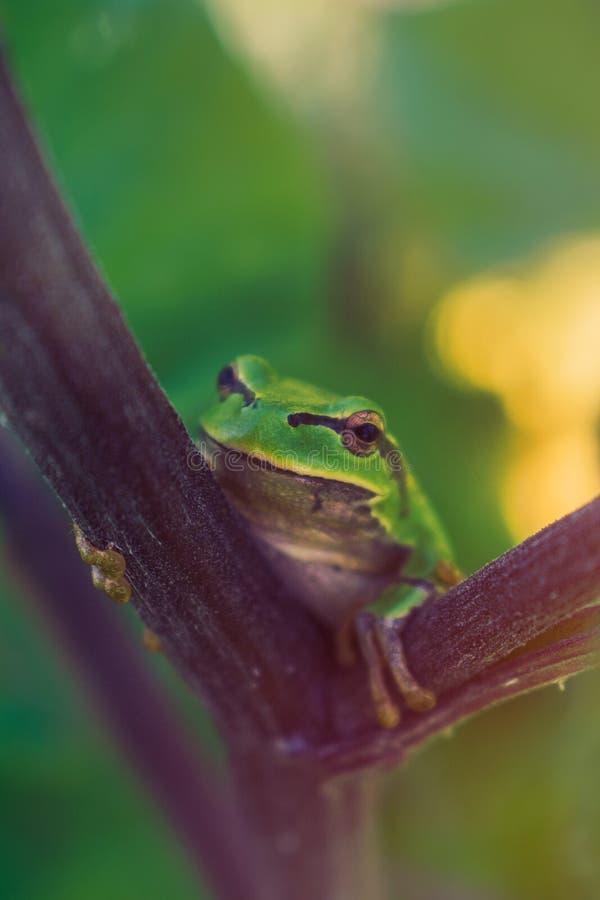 Zielona europejska drzewna żaba na łopianowym badylu fotografia stock