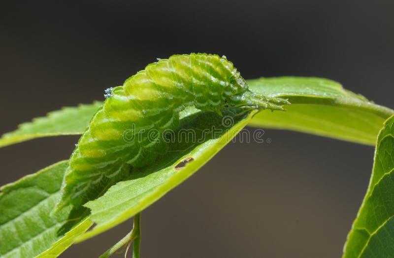 Zielona gąsienica fotografia royalty free