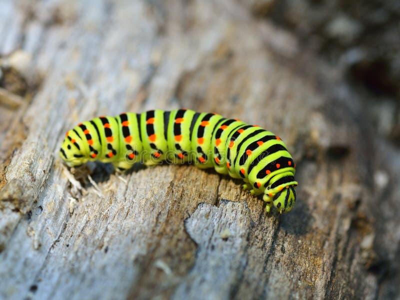 Zielona gąsienica w naturze obrazy royalty free