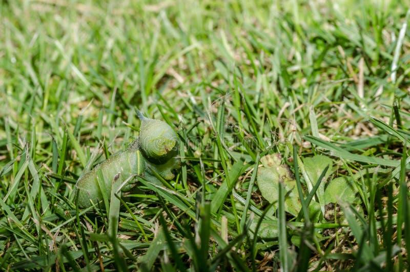Zielona gąsienica w trawie zdjęcia stock