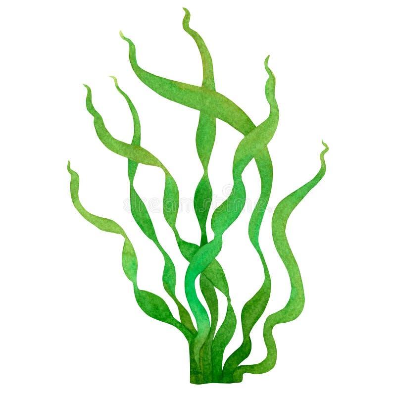 Zielona gałęzatka, kelp w oceanie, akwareli ręka malował element odizolowywającego na białym tle Akwarela ilustracyjny projekt W royalty ilustracja