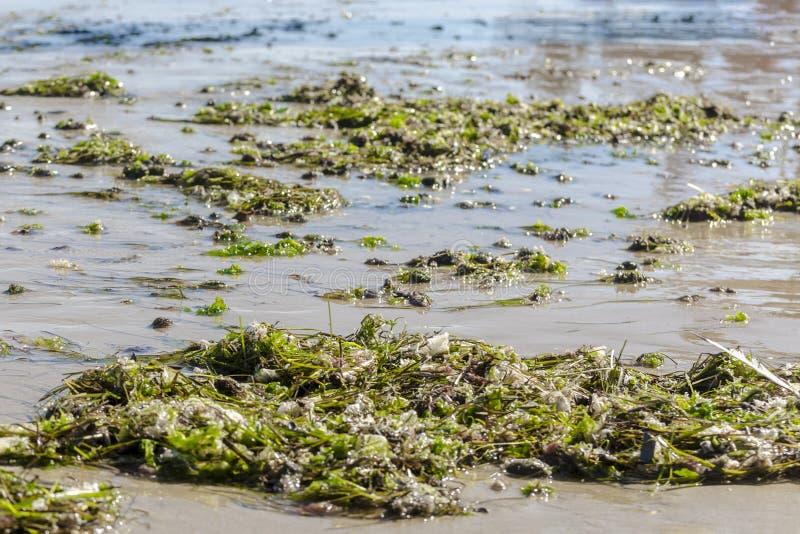 Zielona gałęzatka wyrzucać na brzeg na piaskowatej miasto plaży Czarny morze Algi na seashore suną w lato słonecznym dniu Morski  zdjęcie stock