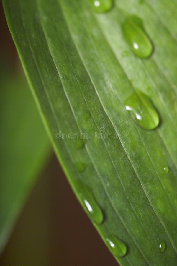 zielona glansowana kropla wody liści fotografia stock