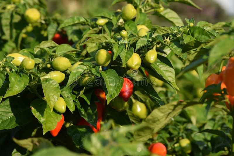 zielona gorącego pieprzu czerwień zdjęcia stock