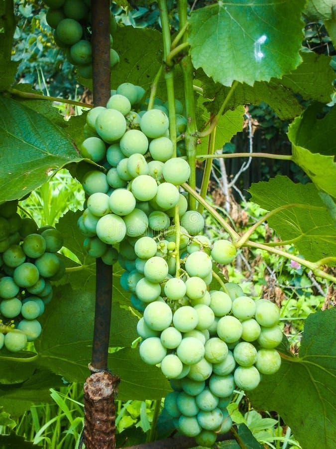 Zielona gronowa rozmaitość Lidia zdjęcie stock