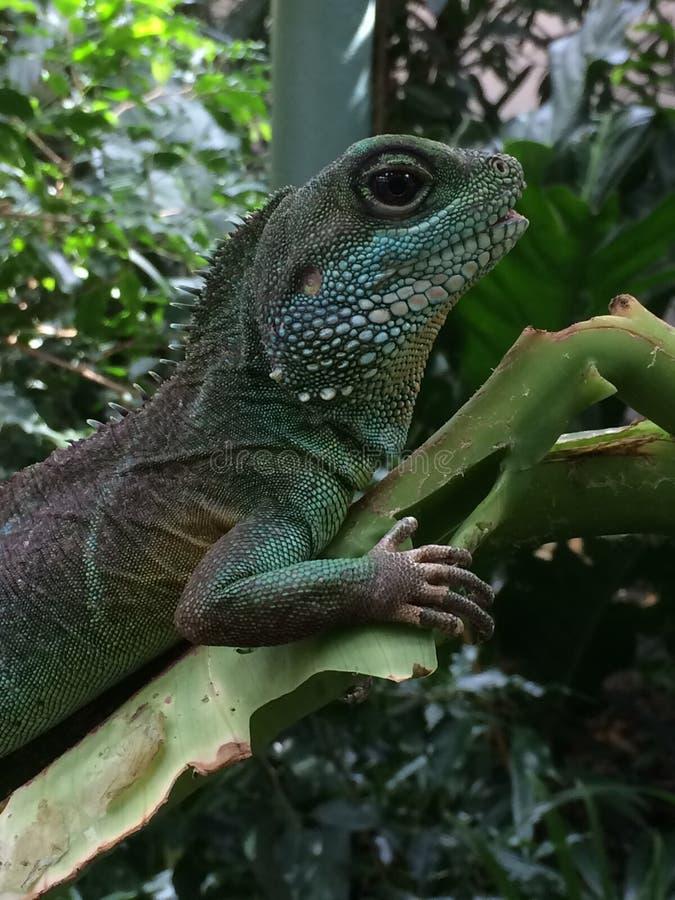 Zielona Hagedis jaszczurka na urlopie obraz stock