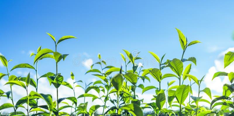 Zielona herbata, herbaciany drzewo, herbaciani liście, Assam herbata, świeża zieleń i jaskrawy niebo, zdjęcia stock