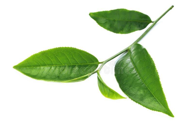 Zielona herbata liść na białym tle zdjęcia royalty free