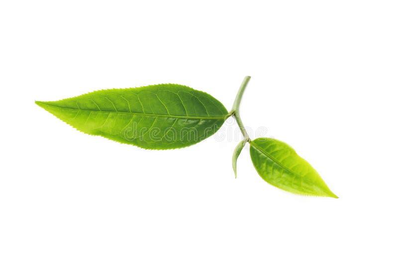 Zielona herbata liść na białym tle obrazy stock