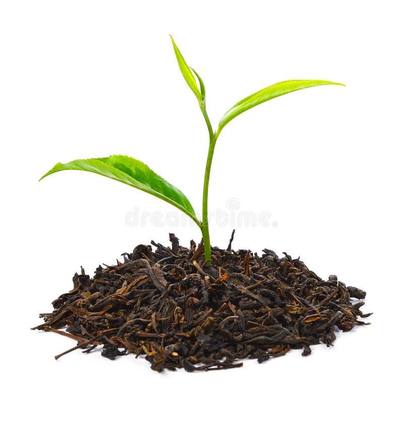 Zielona herbata liść na białym tle zdjęcie royalty free