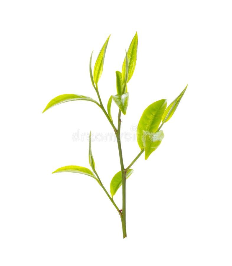zielona herbata liści, obraz royalty free