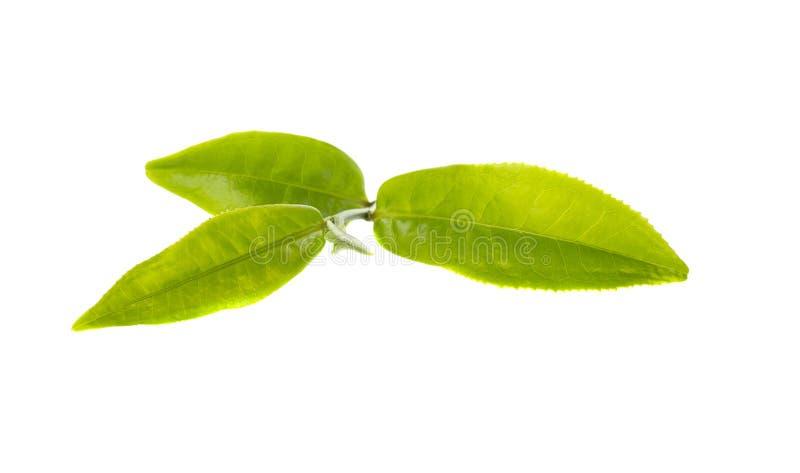 zielona herbata liści, zdjęcia stock