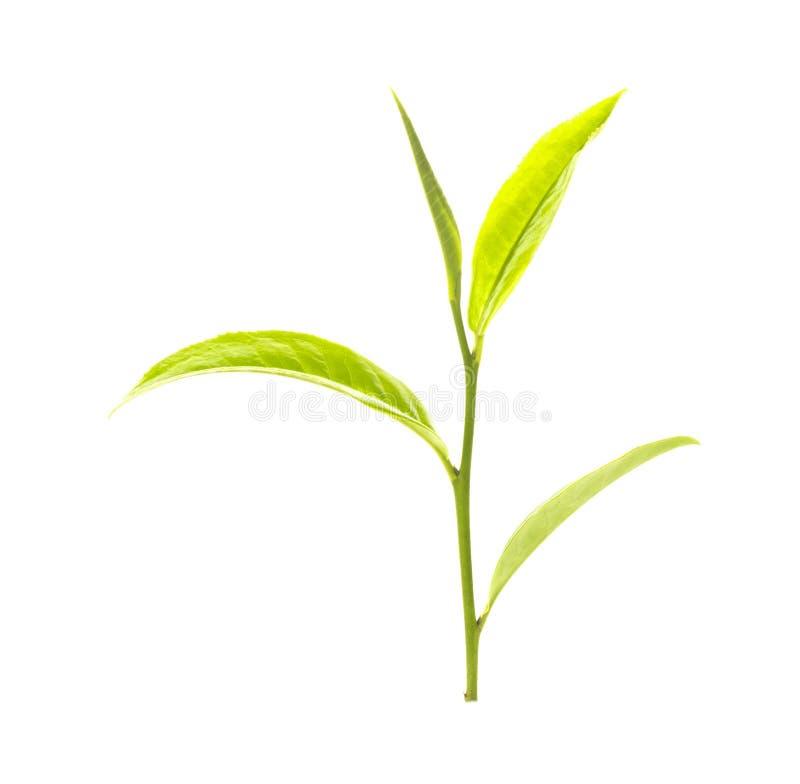 zielona herbata liści, zdjęcia royalty free