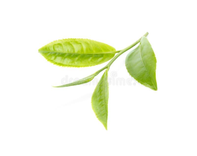zielona herbata liści, fotografia stock
