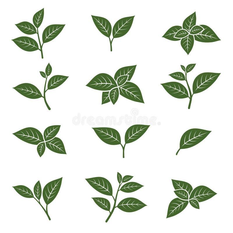 Zielona herbata liścia kolekci set wektor ilustracji