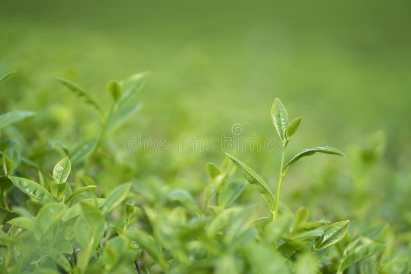 Zielona herbata liście i pączek obrazy royalty free