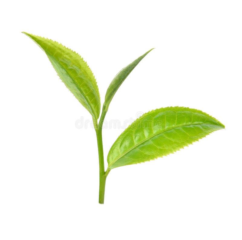 Zielona herbata li?? odizolowywaj?cy na bia?ym tle obraz stock