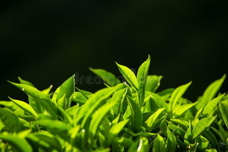 Zielona herbata pączek i świezi liście na czarnym tle obraz royalty free