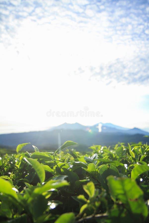 Zielona herbata pączek i świezi liście w ranku Wschód słońca scena z górą i niebieskim niebem fotografia stock