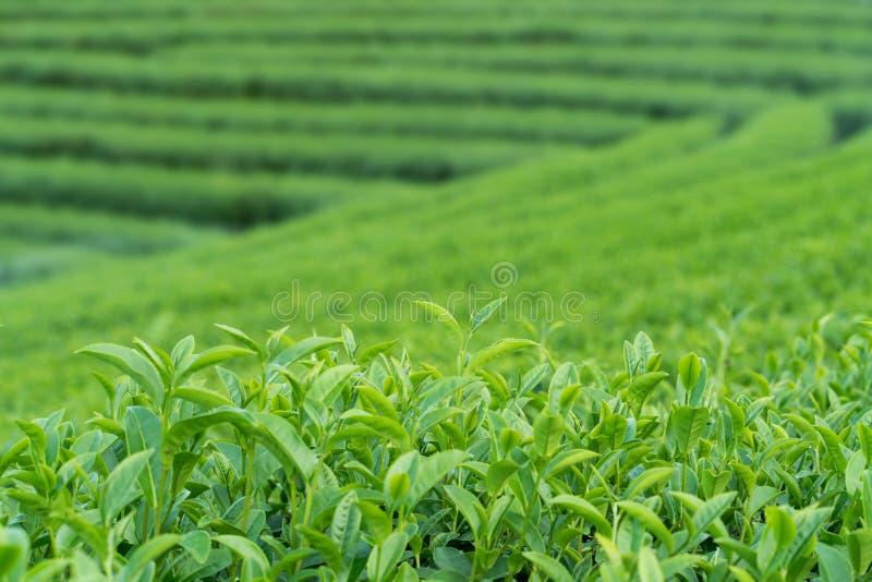 Zielona herbata pączkowi i herbaciani liście obrazy royalty free