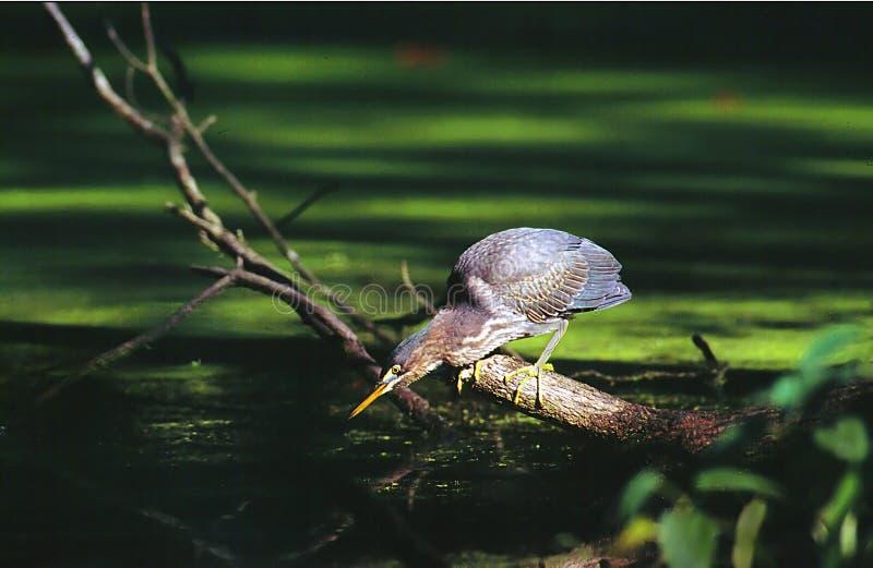 Zielona Heron Zdjęcie Royalty Free
