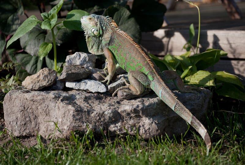 zielona iguana fotografia royalty free